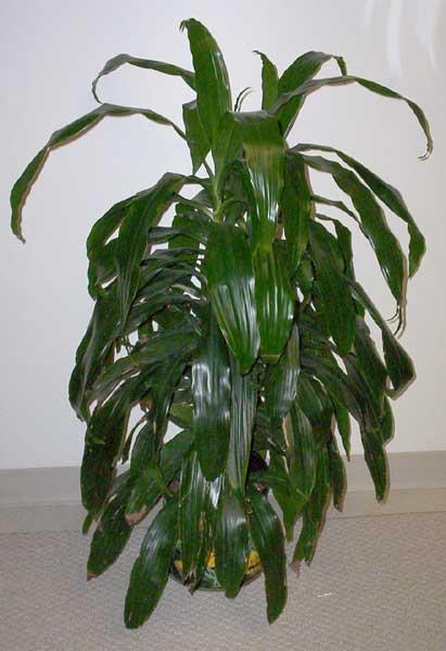 http://www.plantoasis.com/plants/1001_1020/images/1008_janet_craig_dracaena_Big.jpg