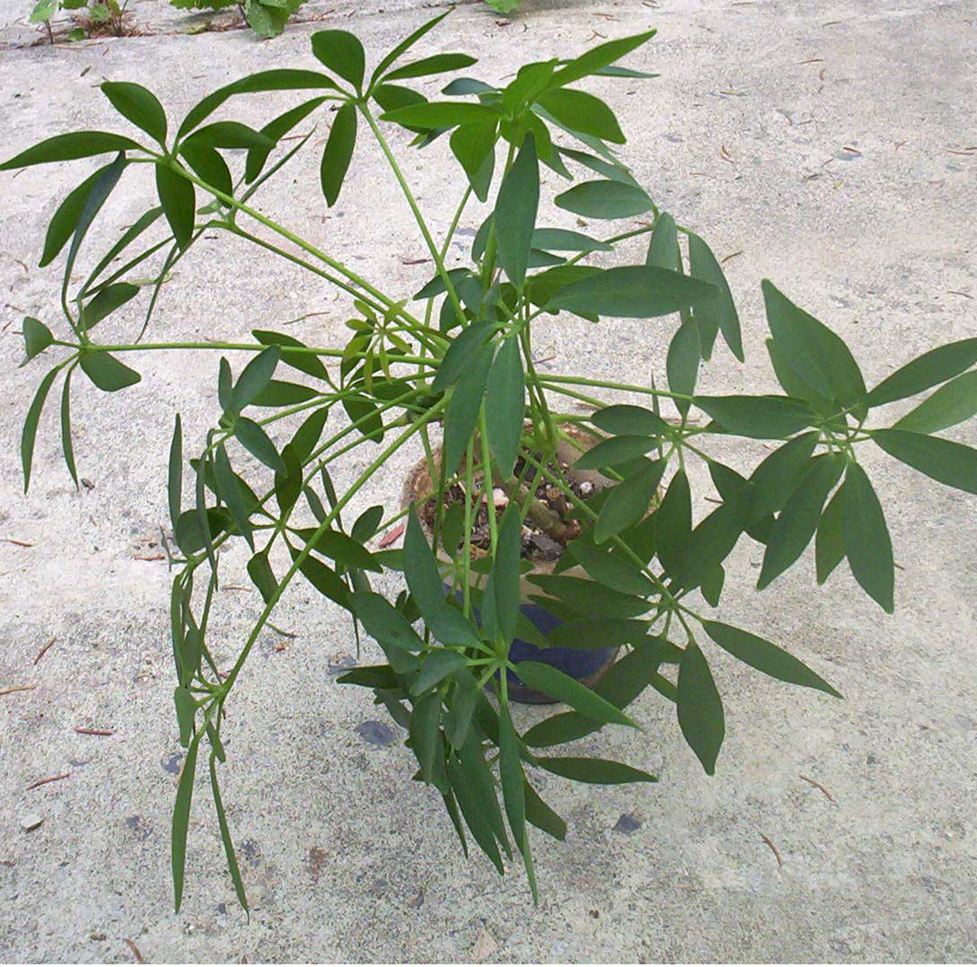 Schefflera hawaiian schefflera umbrella plant octopus tree - House plants names and pictures ...