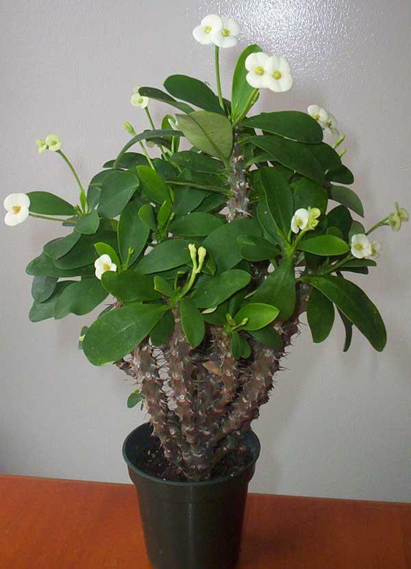 Toon onderwerp  Adenium  cactusforumnl