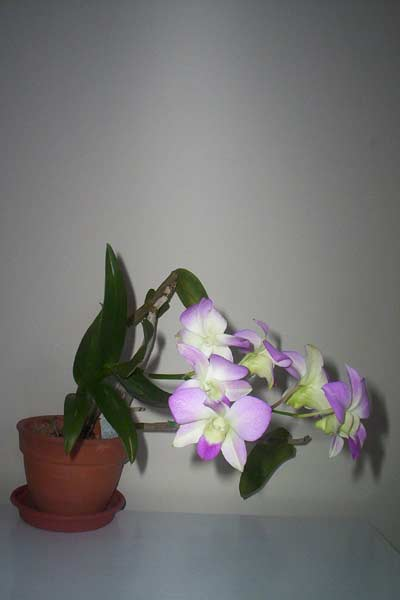 Plantoasis Com Dendrobium Orchid Dendrobium Species