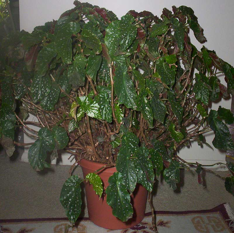PlantOasis.com - Angel-Wing Begonia (Begonia coccinea)