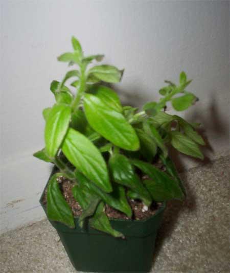 goldfish plant pictures. Goldfish Plant (Columnea